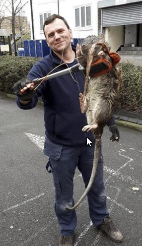 szczur11