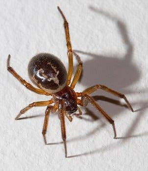 Fałszywa czarna wdowa, wygląd pająka jest charakterystyczny. Błyszczący, czarny i bulwiasty, grube odnóża, charakterystyczny biały znak na odwłoku przypominający czaszkę.